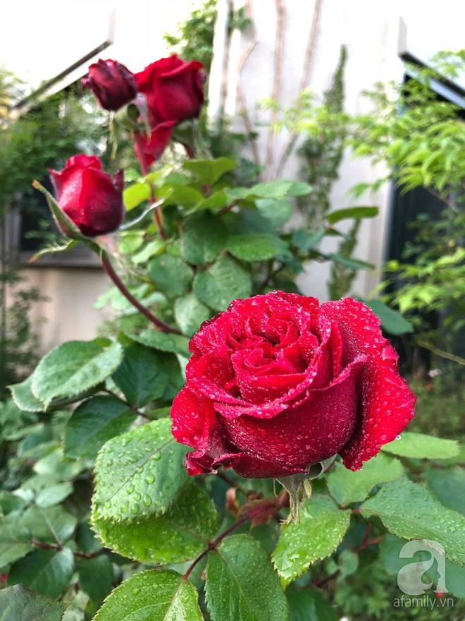 Khu vườn hoa hồng trước nhà đẹp như cổ tích của người đàn ông Việt ở Nhật - Ảnh 18.