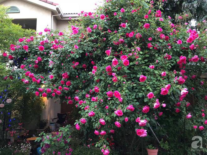 Khu vườn hoa hồng trước nhà đẹp như cổ tích của người đàn ông Việt ở Nhật - Ảnh 4.