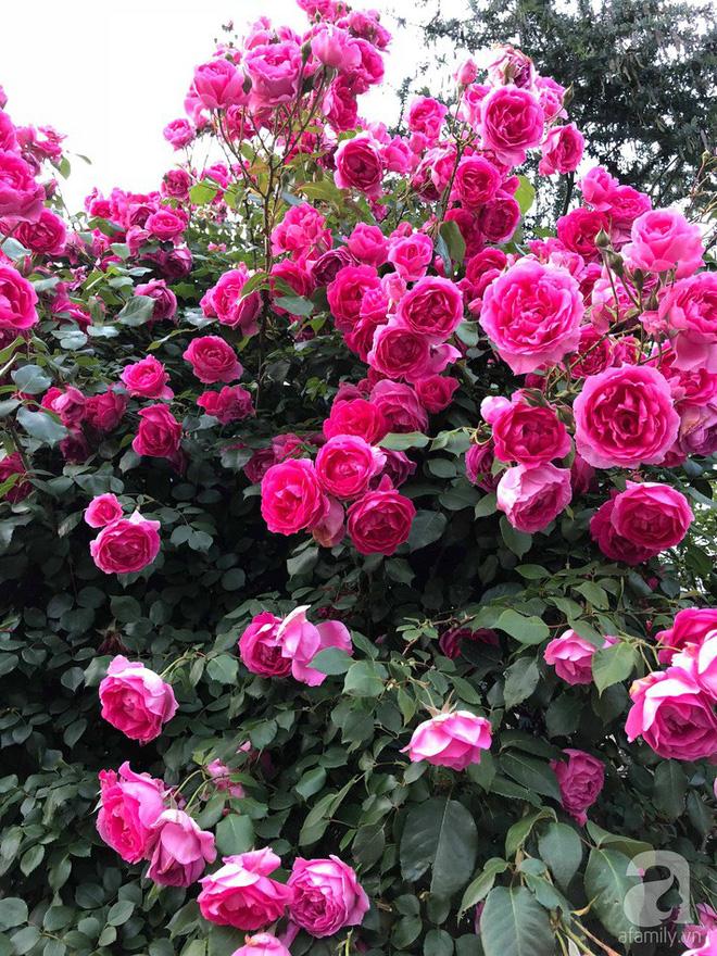 Khu vườn hoa hồng trước nhà đẹp như cổ tích của người đàn ông Việt ở Nhật - Ảnh 9.