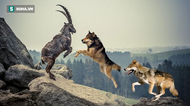 Dê núi kiệt sức đấu với 2 con sói hung ác: Nó có tìm thấy đường sống ở phút cuối? - ảnh 1