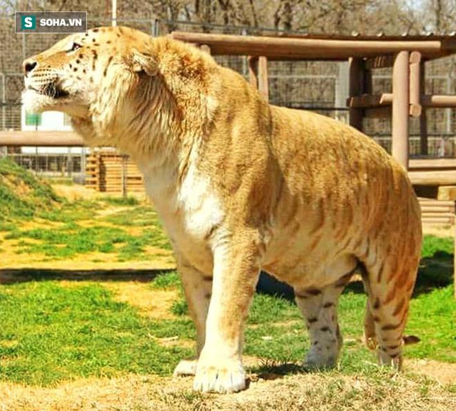 Giao chiến nảy lửa giữa hổ lai và hổ thuần chủng: Kẻ khổng lồ có chiến thắng? - ảnh 1