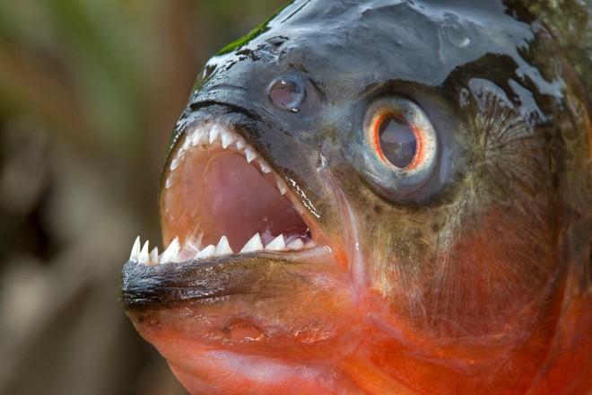 Loài người thực sự nợ cá Piranha khét tiếng Amazon một lời xin lỗi: Chúng đáng sợ là do con người - ảnh 1