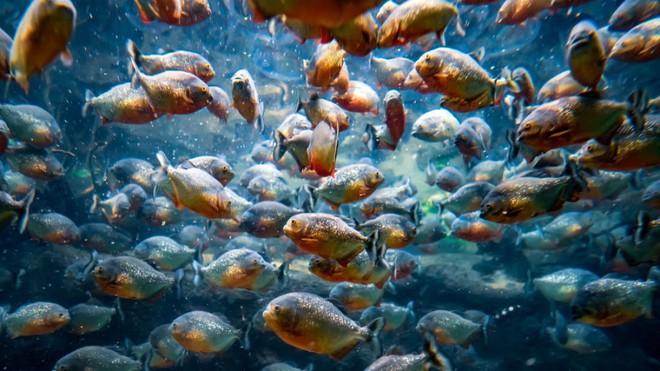 Loài người thực sự nợ cá Piranha khét tiếng Amazon một lời xin lỗi: Chúng đáng sợ là do con người - ảnh 5