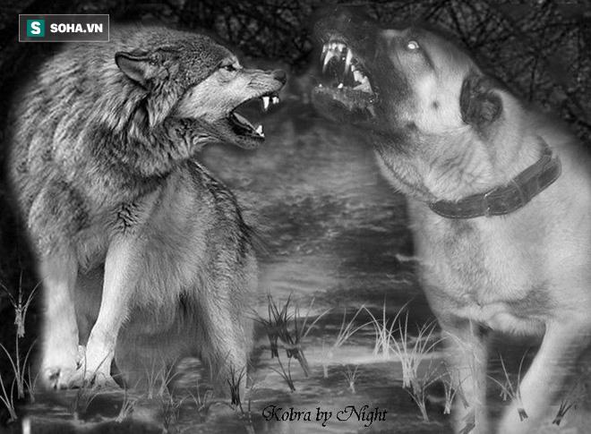Chó sói bị cặp đôi Kangal luân phiên cắn xé, tấn công tới chết - ảnh 1