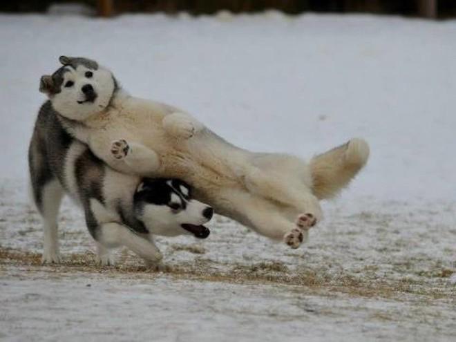 Một khoảnh khắc vui nhộn khi hai chú chó đang nô đùa trên tuyết