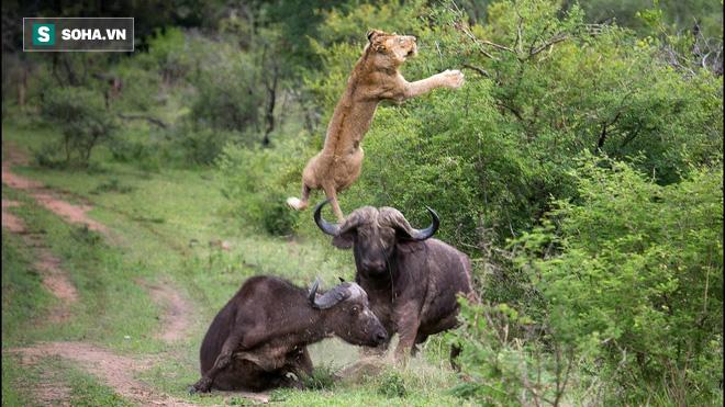 Trâu rừng húc văng sư tử lên không để cứu bạn, nỗ lực này có được đền đáp? - ảnh 1