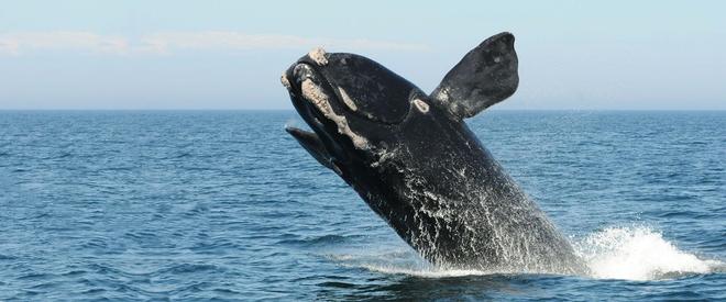 Lần đầu tiên trong lịch sử, chúng ta thu được tiếng hát của loài cá voi đen hiếm bậc nhất thế giới - Ảnh 2.