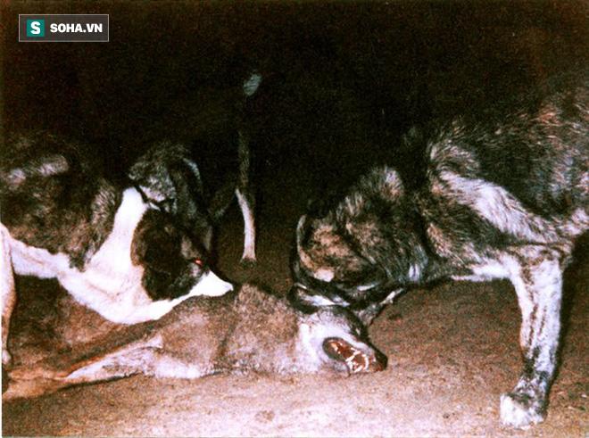 Chó sói bị chó ngao giết chết. Nguồn: Marcpous