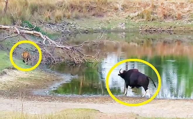 VIDEO: Sốc trước cảnh bò tót truy đuổi hổ