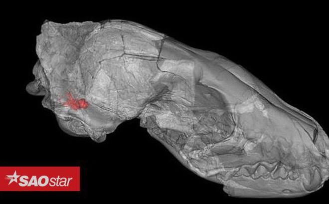 Phát hiện loài chó thời tiền sử có kích thước bằng gấu nâu, săn mồi như loài cáo thời hiện đại