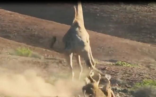 VIDEO: Sư tử nhừ đòn vì bị hươu cao cổ tấn công