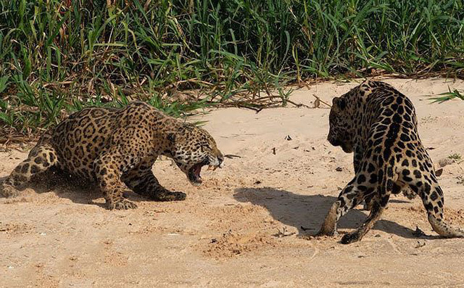 VIDEO: Màn giao đấu giành lãnh thổ của 2 con báo đốm