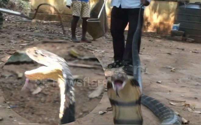 Video: Thót tim với cảnh rắn hổ mang chúa khủng hung dữ tấn công người