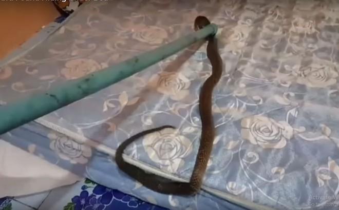Người đàn ông hãi hùng khi phát hiện nằm trên một con rắn hổ mang chúa cả đêm