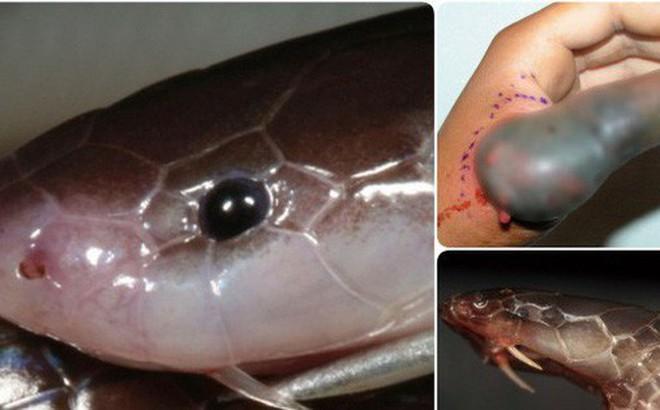 Không phải hổ mang, đây mới xứng là con rắn đáng sợ nhất thế giới: Nó có thể mổ mà không cần mở miệng