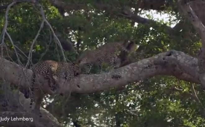 Thế giới động vật: Báo đực phớt lờ cả bạn tình vì quá thèm ngủ