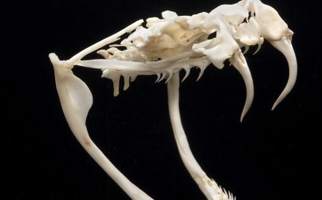Hơn 1.500 năm trước, có người ăn sống cả con rắn đuôi chuông, đi ngoài ra cái răng nanh dài 11 milimet