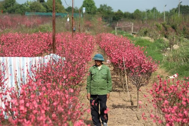 Xót xa vựa đào Nhật Tân nở hoa đỏ rực trước Tết, người dân ngậm ngùi hái bỏ cả nghìn bông - Ảnh 1.