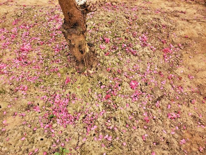 Xót xa vựa đào Nhật Tân nở hoa đỏ rực trước Tết, người dân ngậm ngùi hái bỏ cả nghìn bông - Ảnh 6.