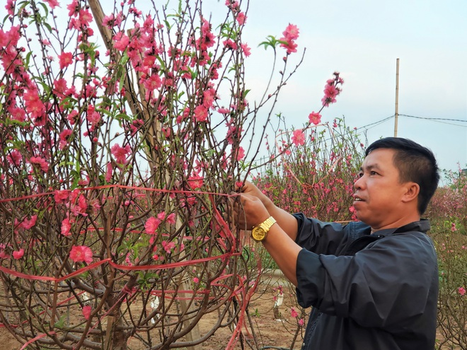Xót xa vựa đào Nhật Tân nở hoa đỏ rực trước Tết, người dân ngậm ngùi hái bỏ cả nghìn bông - Ảnh 7.