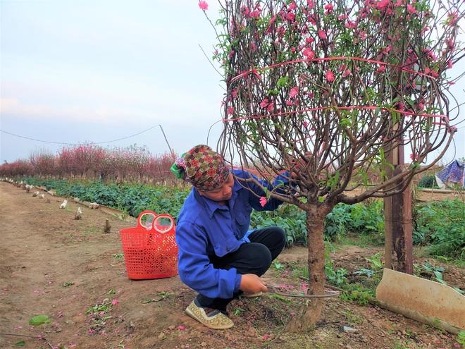 Xót xa vựa đào Nhật Tân nở hoa đỏ rực trước Tết, người dân ngậm ngùi hái bỏ cả nghìn bông - Ảnh 11.
