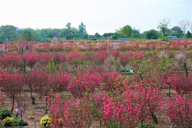 Xót xa vựa đào Nhật Tân nở hoa đỏ rực trước Tết, người dân ngậm ngùi hái bỏ cả nghìn bông - Ảnh 2.