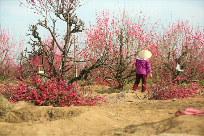 Xót xa vựa đào Nhật Tân nở hoa đỏ rực trước Tết, người dân ngậm ngùi hái bỏ cả nghìn bông - Ảnh 13.