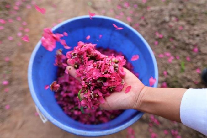 Xót xa vựa đào Nhật Tân nở hoa đỏ rực trước Tết, người dân ngậm ngùi hái bỏ cả nghìn bông - Ảnh 10.