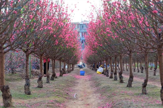 Xót xa vựa đào Nhật Tân nở hoa đỏ rực trước Tết, người dân ngậm ngùi hái bỏ cả nghìn bông - Ảnh 4.