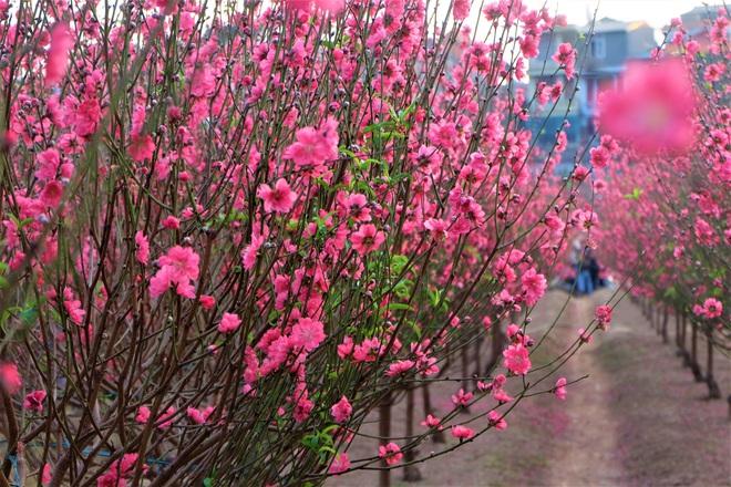Xót xa vựa đào Nhật Tân nở hoa đỏ rực trước Tết, người dân ngậm ngùi hái bỏ cả nghìn bông - Ảnh 5.