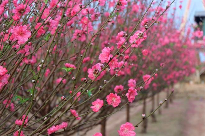 Xót xa vựa đào Nhật Tân nở hoa đỏ rực trước Tết, người dân ngậm ngùi hái bỏ cả nghìn bông - Ảnh 9.