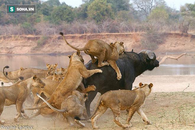 Đánh mãi mới hạ gục được trâu rừng, bầy sư tử bỗng nhiên bỏ đi một cách khó hiểu - Ảnh 1.