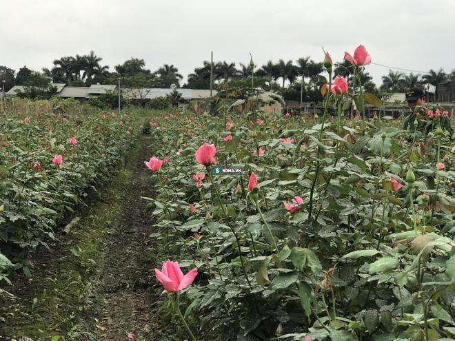 """Làng hoa lớn nhất Hà Nội ủ rũ vì Covid-19: """"Chắc phải bán đất để bù lỗ - Ảnh 1."""