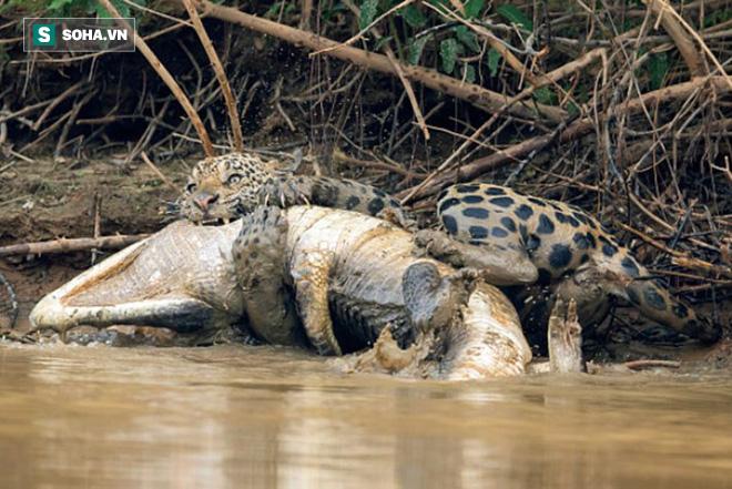 Đang nằm im thư giãn sau khi no nê, cá sấu giật mình vì bóng đen từ bụi rậm - Ảnh 1.