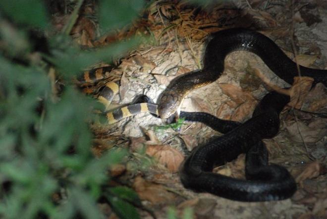 Có nọc độc gấp 15 lần hổ mang chúa, cạp nong vẫn bị giết và ăn thịt như thường - Ảnh 5.