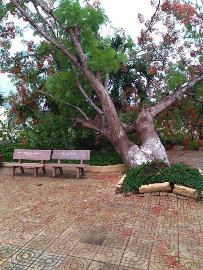 Cây phượng bật gốc ở sân trường tiểu học tỉnh Đồng Nai - Ảnh 1.