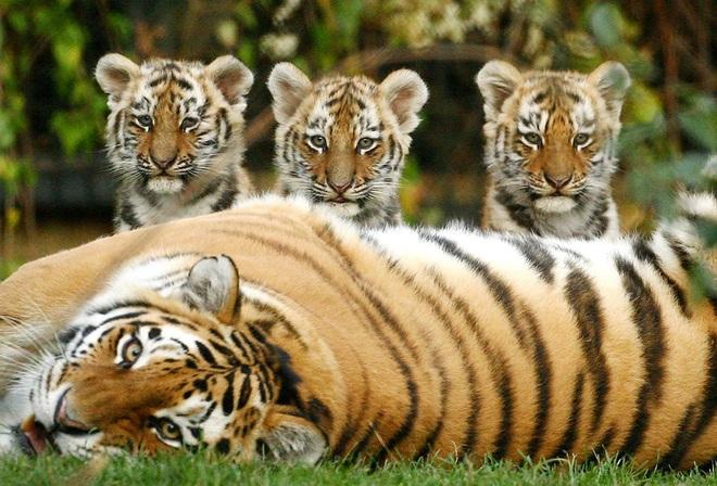 Câu chuyện thú vị từ chúa sơn lâm: Với hổ đực, vợ con là trên hết! - Ảnh 1.