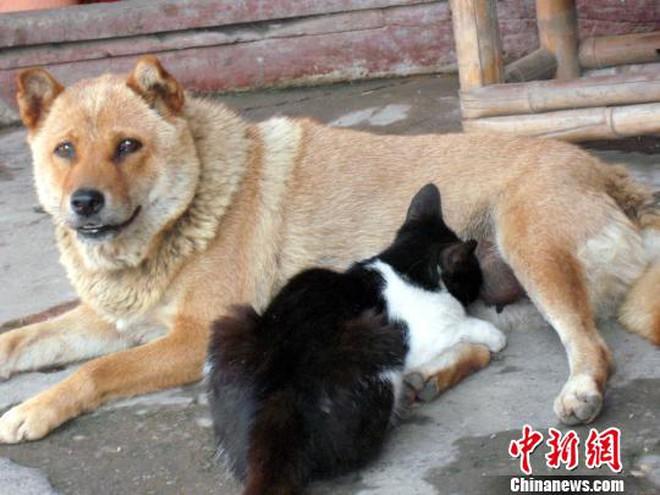Mèo nghiện... bú sữa chó