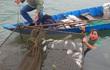 Cá chết hàng loạt ở cửa biển Lăng Cô