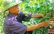 Chanh 'vượt hạn' cho thu nhập 200 triệu đồng/ha