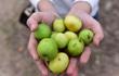 10.000 đồng một lượt vé vào vườn táo 60 năm tuổi