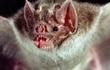 Lần đầu tiên phát hiện loài dơi quỷ hút máu người ở Brazil