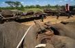 """Hơn chục con voi nặng 4 tấn """"trốn đi bụi"""" khiến đội kiểm lâm chật vật để đưa trở lại rừng"""