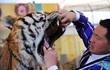 24h qua ảnh: Người huấn luyện thú banh miệng hổ khám răng ở Trung Quốc