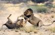 24h qua ảnh: Cặp sư tử đực quyết chiến giành bạn tình