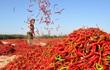 24h qua ảnh: Công nhân phơi khô ớt đỏ rực cánh đồng