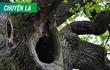 Kỳ lạ chuyện cây cổ thụ cứu người, được cả châu Âu vinh danh