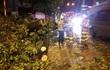 Hà Nội: Gió quật cây xà cừ bật gốc nằm chắn ngang đường