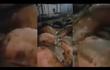 Ăn xong, đàn bò 17 con trương phình bụng rồi chết bất thường
