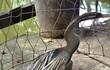 Cận cảnh chim cổ rắn nặng hơn 1kg do người dân Sài Gòn bắt được